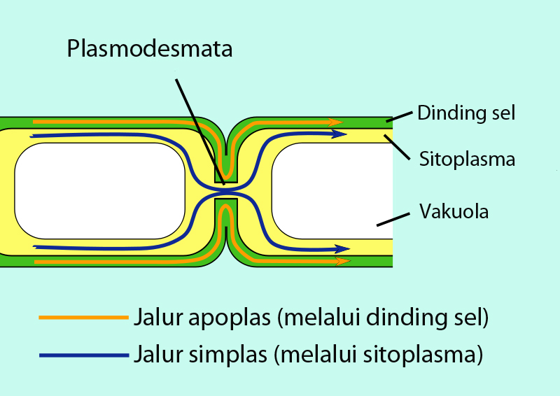 Sistem jaringan dan proses pengangkutan zat pada tumbuhan science akan tetapi air dan garam mineral yang masuk ke endodermis hanya dilakukan melalui simplas hal tersebut disebabkan adanya pita kaspar pada sel endodermis ccuart Choice Image