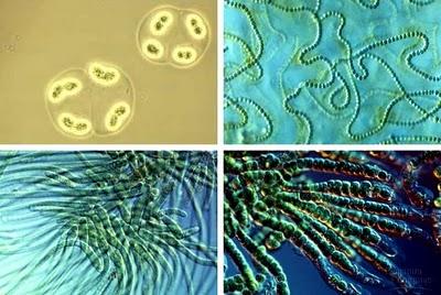 cyanobacteria-autotrofo