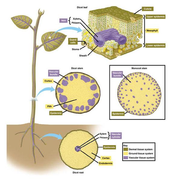 Struktur dan fungsi jaringan parenkim penyokong pengangkut dan jaringan tumbuhan ccuart Images