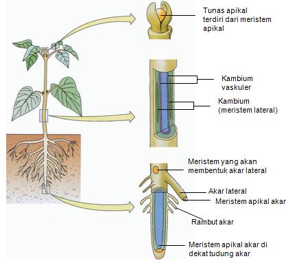 Struktur Dan Fungsi Jaringan Meristem Dan Epidermis Pada Tumbuhan Science Booth