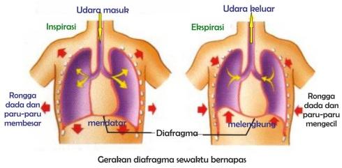 pernapasan diafragma