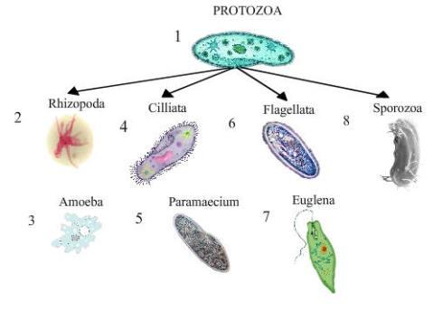 protista hewan